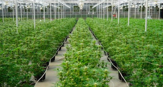 stocks de marijuana