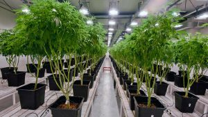 best stocks to buy now (cannabis stocks)